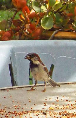 Sparrow's Breakfast Art Print by Fred Jinkins