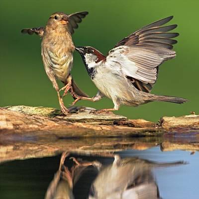 Sparrow Photograph - Sparrows Fighting by Bildagentur-online/mcphoto-schaef