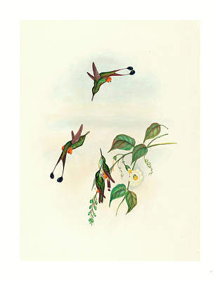 Old Boots Drawing - Spathura Rufocaligata Red-booted Racket Tail by John Gould (1804-1881) And Henry Constantine Richter (1821?1902), English