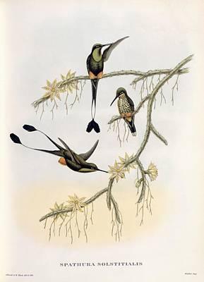 Spathura Solstitialis Art Print by John Gould