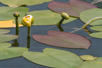 Spatterdock Heart Art Print by Paul Rebmann