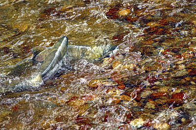 Photograph - Spawning Chum by Sharon Talson