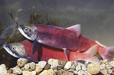 Kokanee Salmon Photograph - Spawning Kokanee Salmon by William H. Mullins
