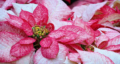 Flowers Photograph - Specialty Poinsettias  by Donna Pagakis