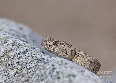 Photograph - Speckled Rattlesnake Crotalus Mitchellii by Liz Leyden