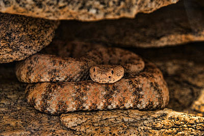 Photograph - Speckled Rattlesnake by Mark Newman