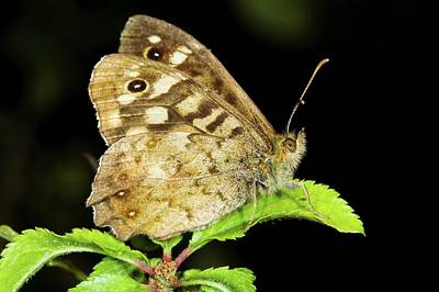 Speckled Wood Butterfly Art Print by John Devries/science Photo Library