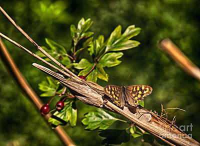 Holiday Pillows 2019 - Speckled wood by Shaun Wilkinson