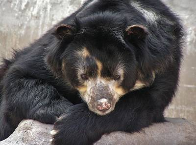 Photograph - Spectacled Bear by Diane Alexander