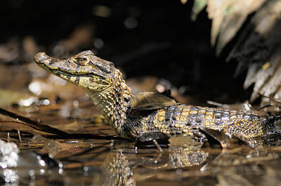 Photograph - Spectacled Caiman by Martin Shields