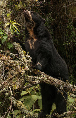 Spectacled Or Andean Bear (tremarctos Print by Pete Oxford