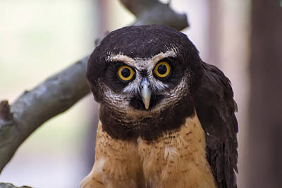 Featured Images Digital Art - Spectacled Owl by Chris Flees