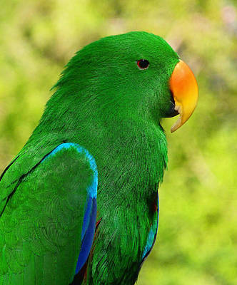 Photograph - Spectacular Eclectus Parrot by Margaret Saheed