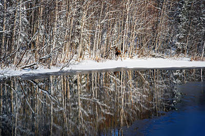Willow Lake Photograph - Spectacular Winter Moose by Ron Day