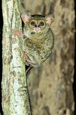 Indonesian Wildlife Photograph - Spectral Tarsier Tarsius Tarsier by Fletcher & Baylis