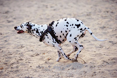 Photograph - Speedy Girl. Kokkie. Dalmatian Dog by Jenny Rainbow