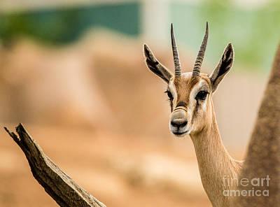 Western Art - Spekes gazelle A1917 by Stephen Parker