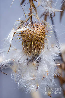 Photograph - Spent Thistle by Adria Trail