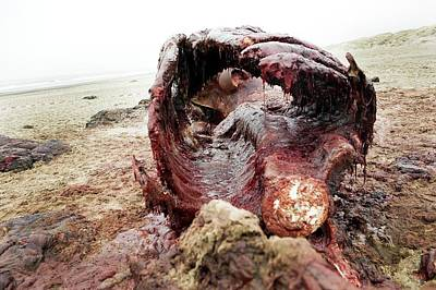 Carcass Photograph - Sperm Whale Carcass by Thomas Fredberg