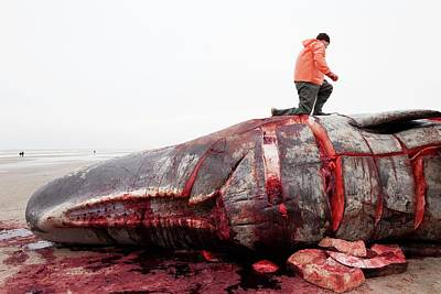 Carcass Photograph - Sperm Whale Dissection by Thomas Fredberg