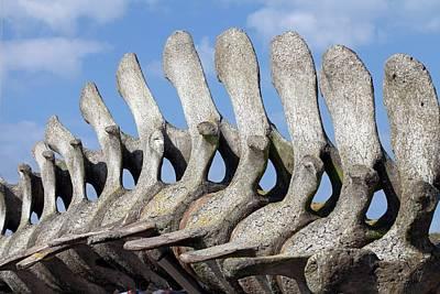 Large Mammals Photograph - Sperm Whale Spine by Dirk Wiersma