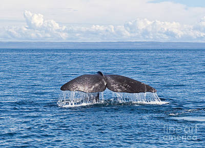 Photograph - Sperm Whale Tail  Physeter Catodon by Liz Leyden
