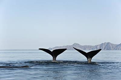 Two Tailed Photograph - Sperm Whale Tails by Christopher Swann