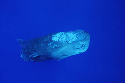 Remoras Photograph - Sperm Whale With Remoras by Flip Nicklin