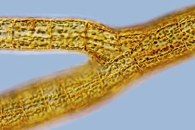 Unicellular Photograph - Sphacelaria Brown Alga by Gerd Guenther