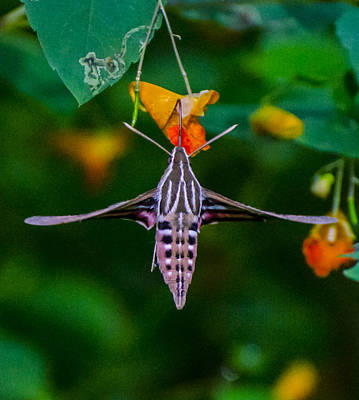 Sports Royalty-Free and Rights-Managed Images - Sphinx Moth Number 4 by David Tennis