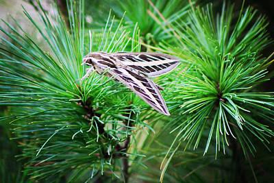 Photograph - Sphinx Moth by Sarah Boyd