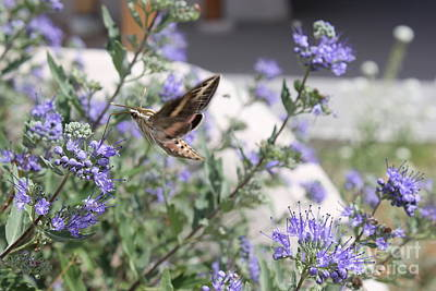 Photograph - Sphinx Moth by Stephanie Woerndle