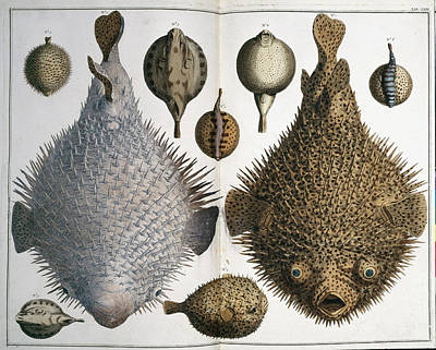 Sphoeroides Sp Pufferfish Art Print by Natural History Museum, London