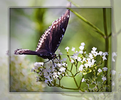 Photograph - Spicebrush Swallowtail Butterfly by Walter Herrit
