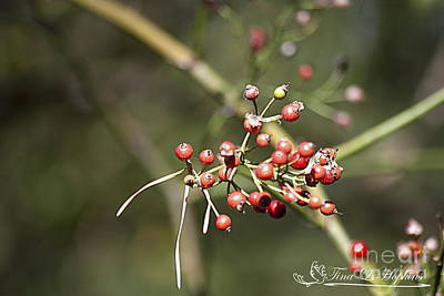 Photograph - Spicebush Berries 20121020_1_213 by Tina Hopkins
