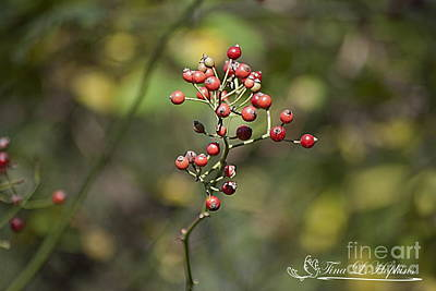 Photograph - Spicebush Berries 20121020_1_226 by Tina Hopkins