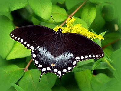 Photograph - Spicebush Butterfly by Christina Rollo