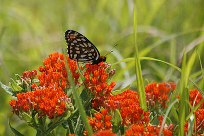 Photograph - Gulf Fritillary On Butterfly Milkweed by CE Haynes