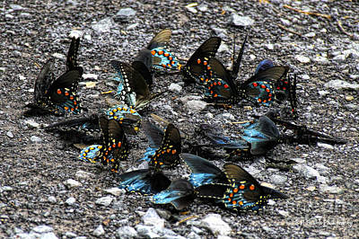 Photograph - Spicebush Swallowtails Puddling by Barbara Bowen