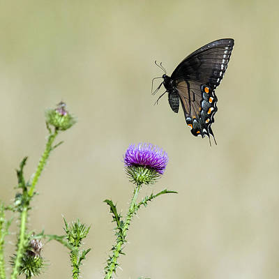 David Lester Photograph - Spicebush Swallowtail 1 by David Lester