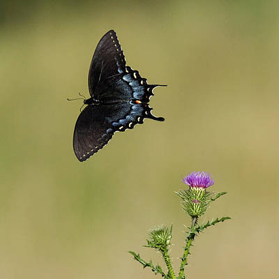 Photograph - Spicebush Swallowtail 2 by David Lester