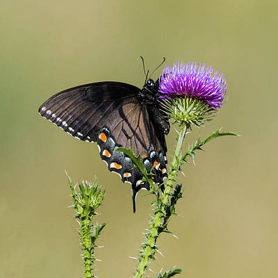 David Lester Photograph - Spicebush Swallowtail 3 by David Lester