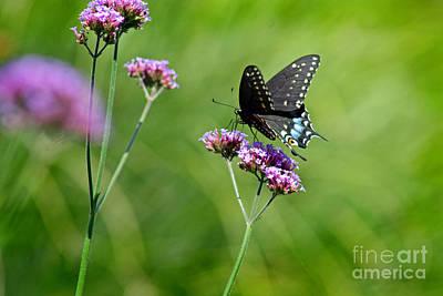 Photograph - Spicebush Swallowtail Butterfly In Garden by Karen Adams