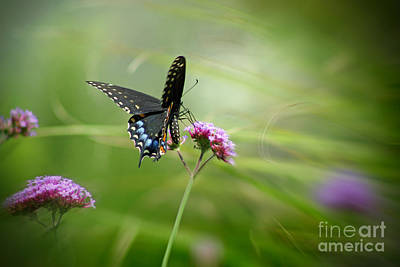 Fluttering Photograph - Spicebush Swallowtail Butterfly by Karen Adams