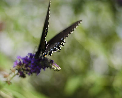 Photograph - Spicebush Swallowtail by Heather Applegate