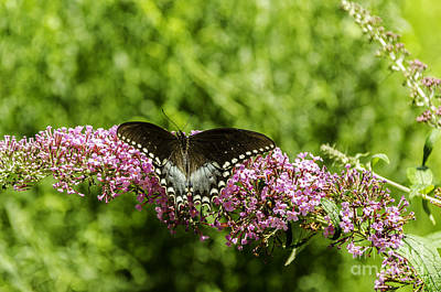 Photograph - Spicebush Swallowtail by Mary Carol Story