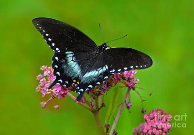 Photograph - Spicebush Swallowtail by Rodney Campbell