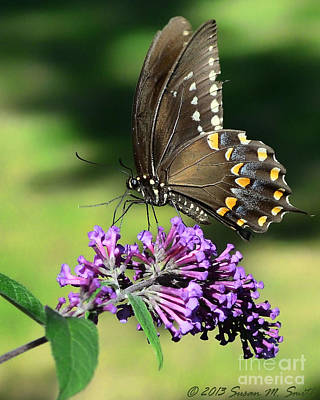Susan M. Smith Photograph - Spicebush Swallowtail by Susan Smith