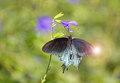 Blue Swallowtail Digital Art - Spicebush Swallowtail by Suzanne Gaff
