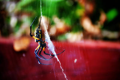 Photograph - Spider And Web by Adam LeCroy